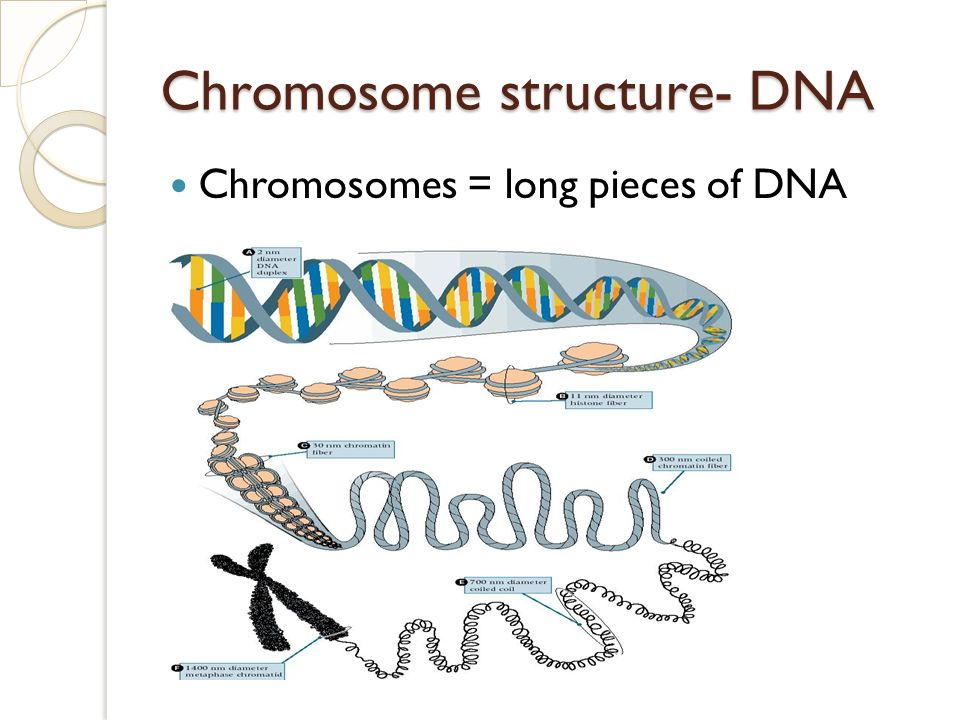 Chromosome structure- DNA Chromosomes = long pieces of DNA