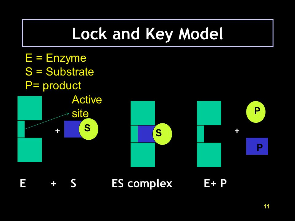 10 Two ways in which Enzyme and substrates bind 1. Lock and key model 2. Induced fit model