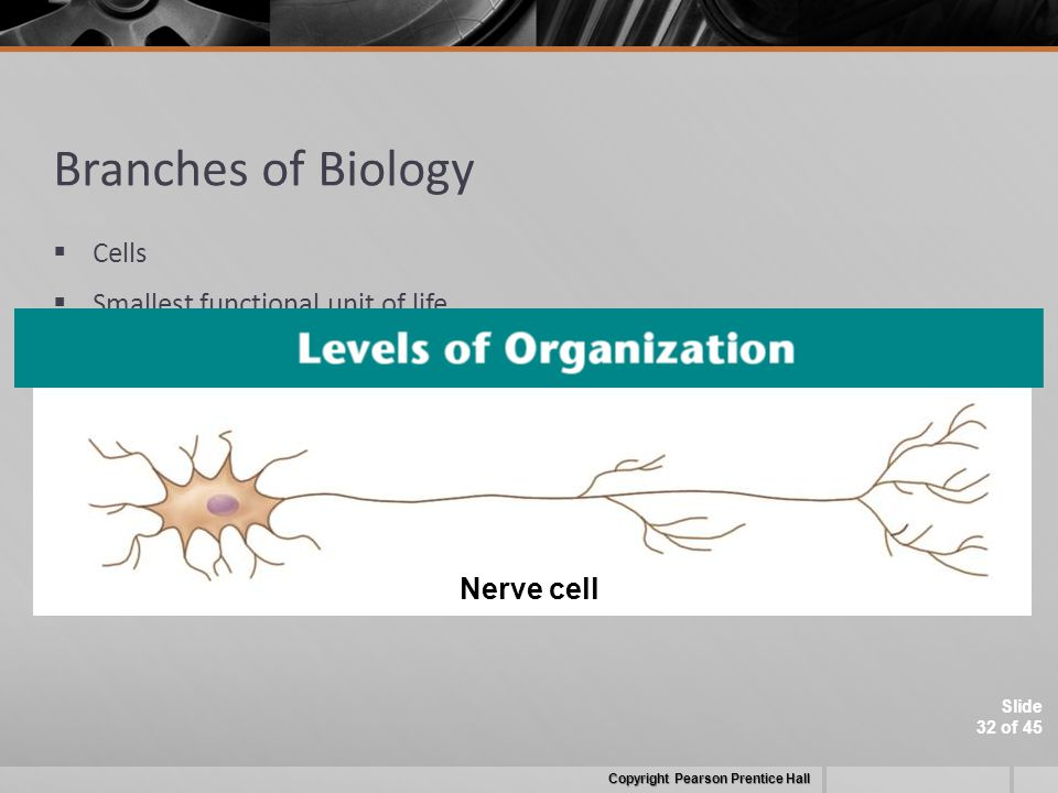 Slide 32 of 45 Branches of Biology  Cells  Smallest functional unit of life Copyright Pearson Prentice Hall Nerve cell