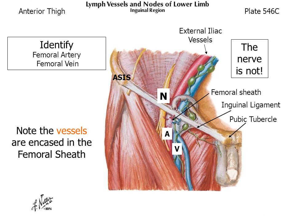 femoral nerve navel – lickclick, Muscles