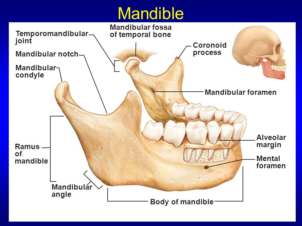 Image Gallery Mandibular Fossa