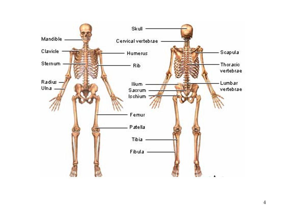 skeletal system dr. lubna nazli 1. objectives 2 components, Cephalic Vein