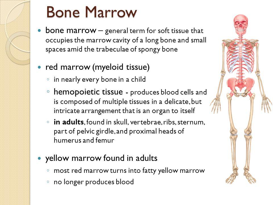 Location Of Spongy Bone In Adults Bone