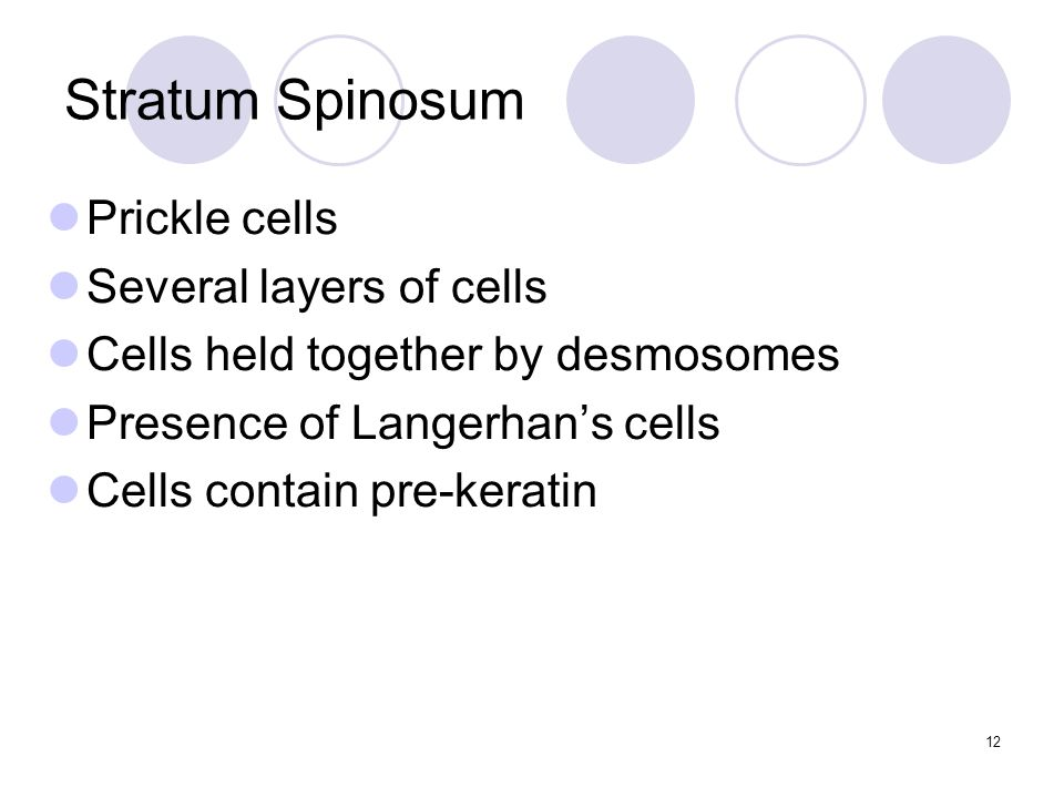Stratum Spinosum Prickle cells Several layers of cells Cells held together by desmosomes Presence of Langerhan's cells Cells contain pre-keratin 12