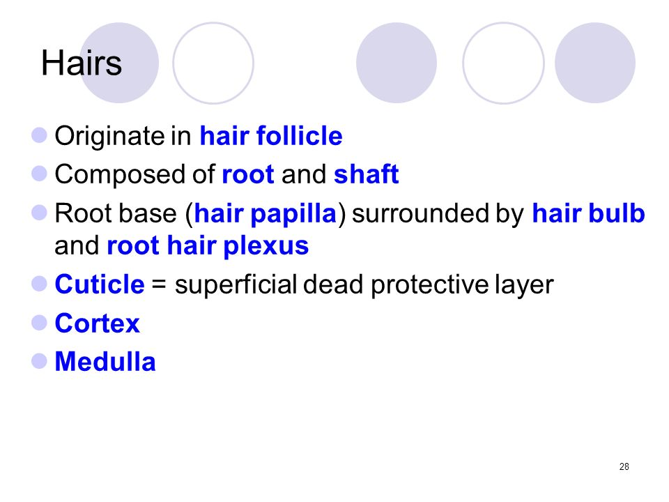 Originate in hair follicle Composed of root and shaft Root base (hair papilla) surrounded by hair bulb and root hair plexus Cuticle = superficial dead protective layer Cortex Medulla Hairs 28