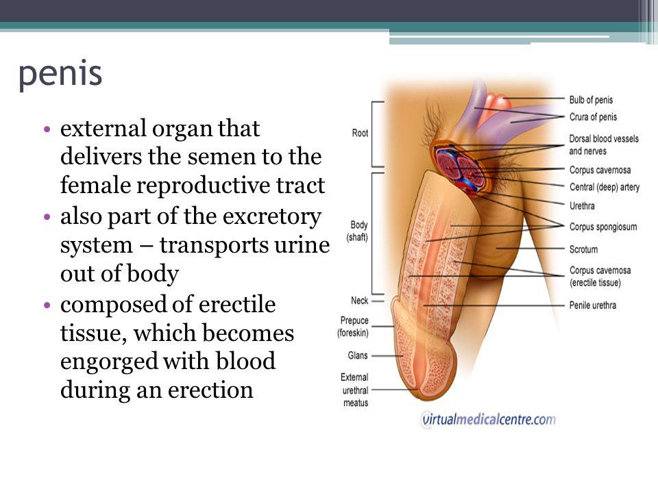 external anatomy of penis