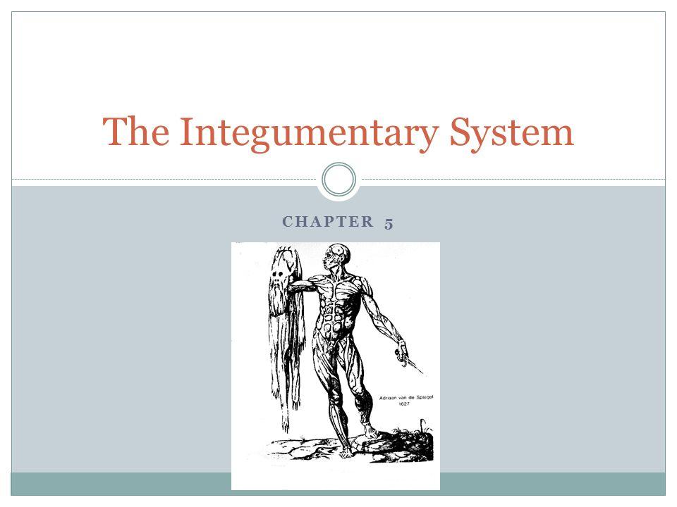 Erfreut Hauptorgane Des Integumentary System Zeitgenössisch ...