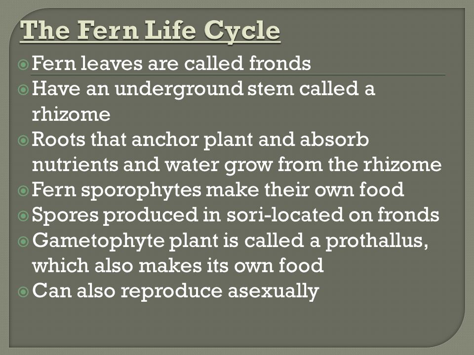  Fern leaves are called fronds  Have an underground stem called a rhizome  Roots that anchor plant and absorb nutrients and water grow from the rhizome  Fern sporophytes make their own food  Spores produced in sori-located on fronds  Gametophyte plant is called a prothallus, which also makes its own food  Can also reproduce asexually