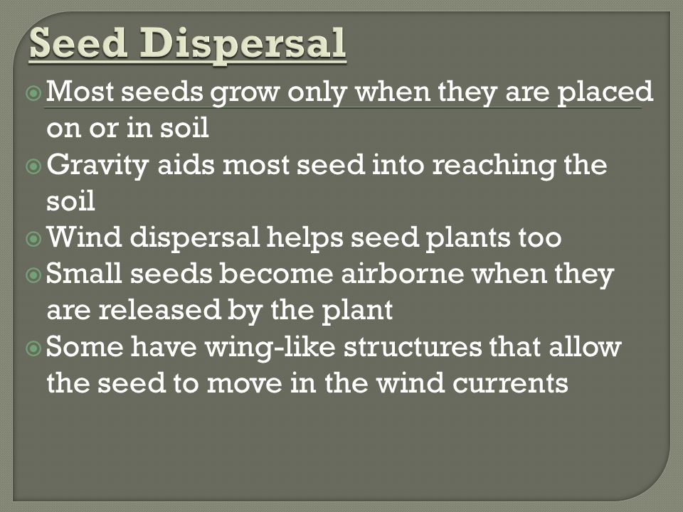  Most seeds grow only when they are placed on or in soil  Gravity aids most seed into reaching the soil  Wind dispersal helps seed plants too  Small seeds become airborne when they are released by the plant  Some have wing-like structures that allow the seed to move in the wind currents