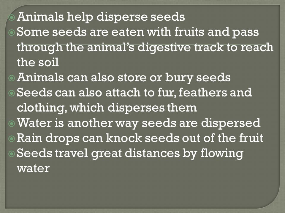  Animals help disperse seeds  Some seeds are eaten with fruits and pass through the animal's digestive track to reach the soil  Animals can also store or bury seeds  Seeds can also attach to fur, feathers and clothing, which disperses them  Water is another way seeds are dispersed  Rain drops can knock seeds out of the fruit  Seeds travel great distances by flowing water