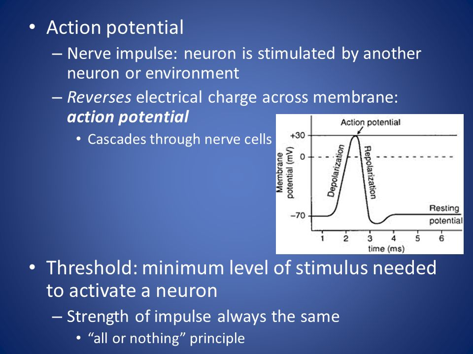 Action potential – Nerve impulse: neuron is stimulated by another neuron or environment – Reverses electrical charge across membrane: action potential Cascades through nerve cells Threshold: minimum level of stimulus needed to activate a neuron – Strength of impulse always the same all or nothing principle