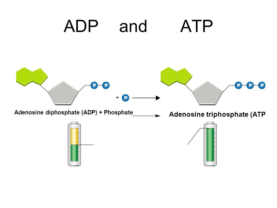 Energy and photosynthesis what is energy ability to do work 3 adpand atp adenosine diphosphate adp phosphate adenosine triphosphate atp ccuart Gallery