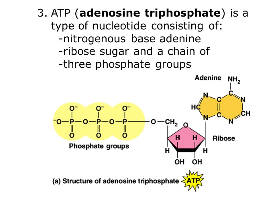 3.ATP (adenosine triphosphate) is a type of nucleotide consisting of: -nitrogenous base adenine -ribose sugar and a chain of -three phosphate groups