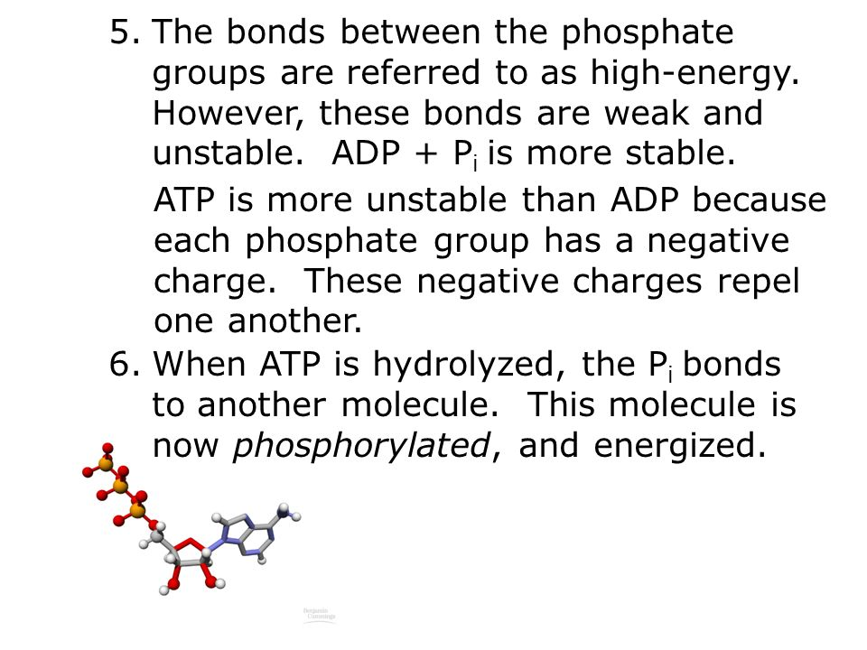 5.The bonds between the phosphate groups are referred to as high-energy.