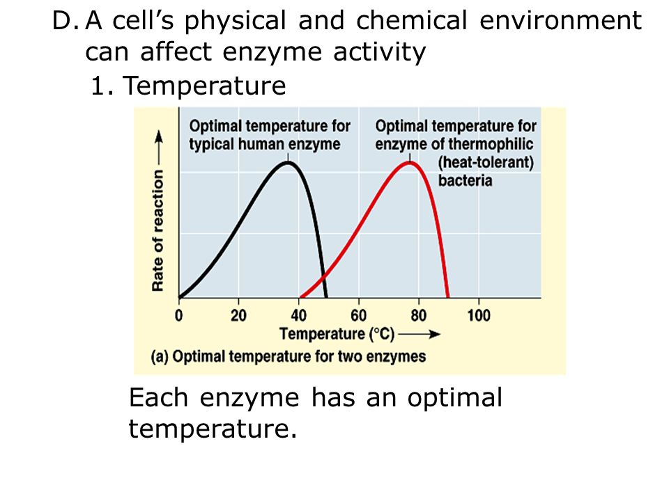 D.A cell's physical and chemical environment can affect enzyme activity 1.Temperature Each enzyme has an optimal temperature.