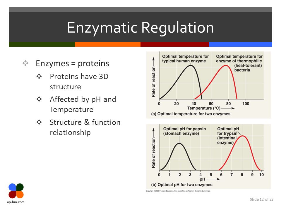 Slide 12 of 23 Enzymatic Regulation  Enzymes = proteins  Proteins have 3D structure  Affected by pH and Temperature  Structure & function relationship