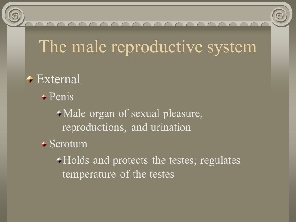 The male reproductive system External Penis Male organ of sexual pleasure, reproductions, and urination Scrotum Holds and protects the testes; regulat