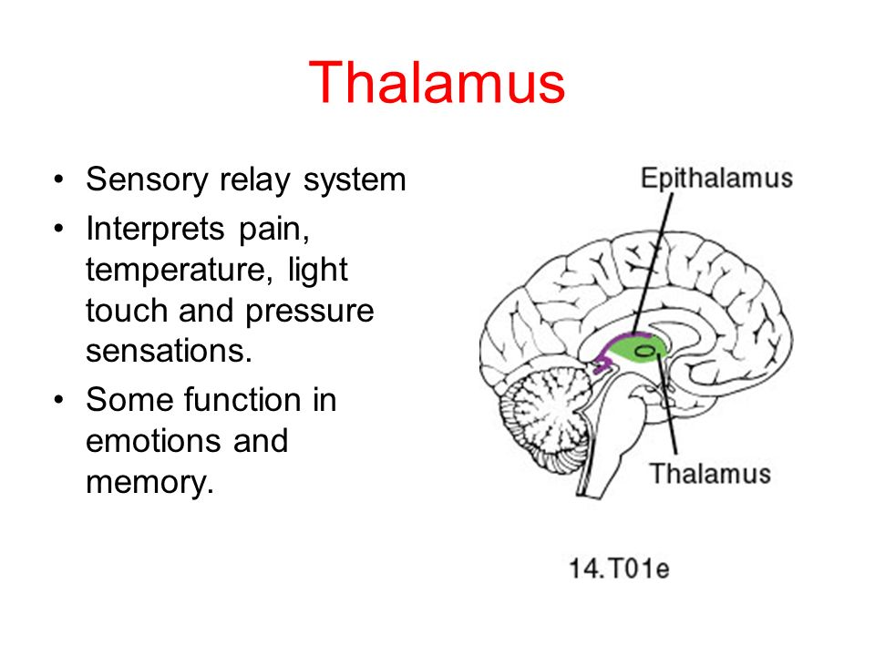Thalamus Sensory relay system Interprets pain, temperature, light touch and pressure sensations.