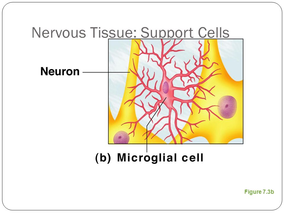 Nervous Tissue: Support Cells Figure 7.3b