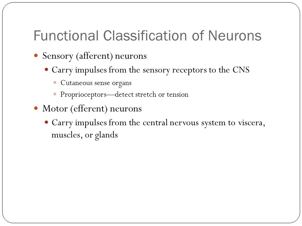 Functional Classification of Neurons Sensory (afferent) neurons Carry impulses from the sensory receptors to the CNS Cutaneous sense organs Proprioceptors—detect stretch or tension Motor (efferent) neurons Carry impulses from the central nervous system to viscera, muscles, or glands