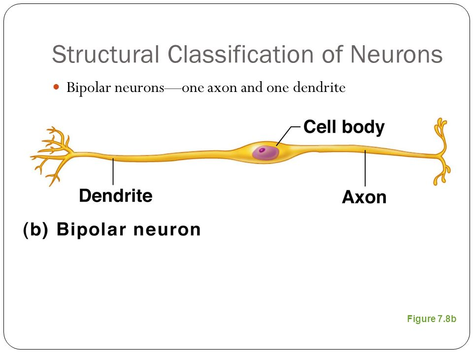 Structural Classification of Neurons Bipolar neurons—one axon and one dendrite Figure 7.8b