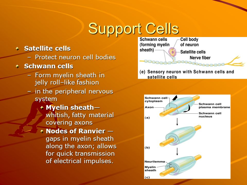 Support Cells Support Cells Satellite cells –Protect neuron cell bodies Schwann cells –Form myelin sheath in jelly roll–like fashion –in the peripheral nervous system Myelin sheath— whitish, fatty material covering axons Nodes of Ranvier — gaps in myelin sheath along the axon; allows for quick transmission of electrical impulses.