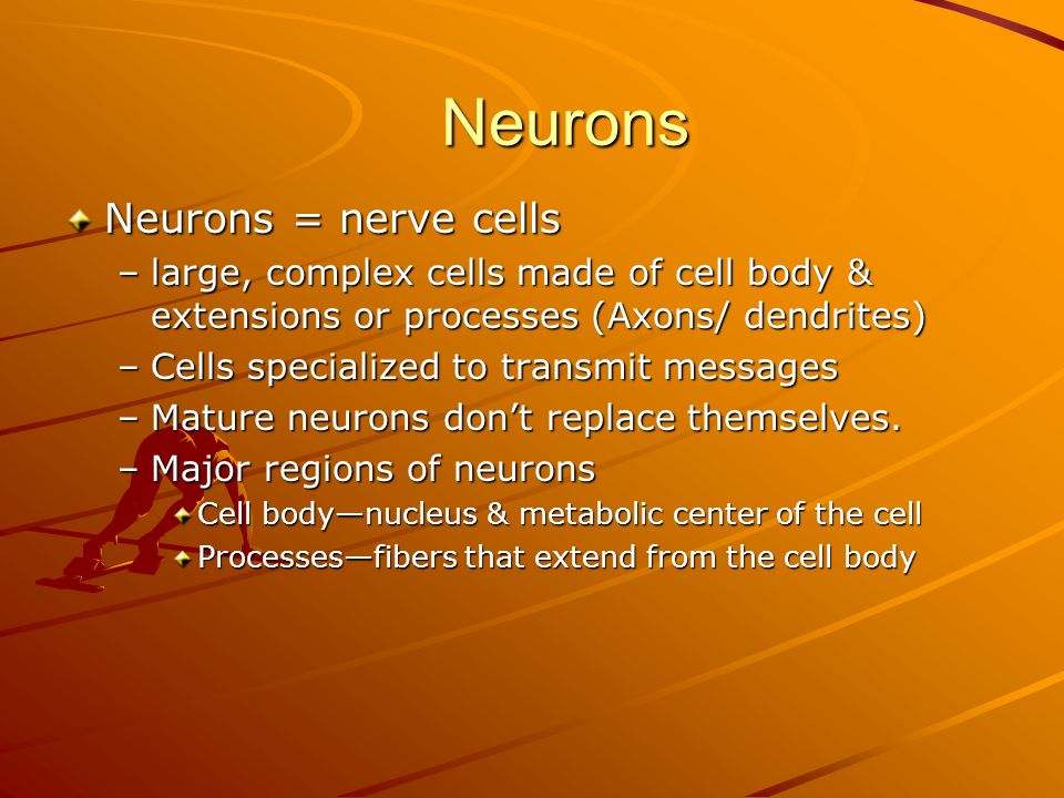 Neurons Neurons = nerve cells –large, complex cells made of cell body & extensions or processes (Axons/ dendrites) –Cells specialized to transmit messages –Mature neurons don't replace themselves.