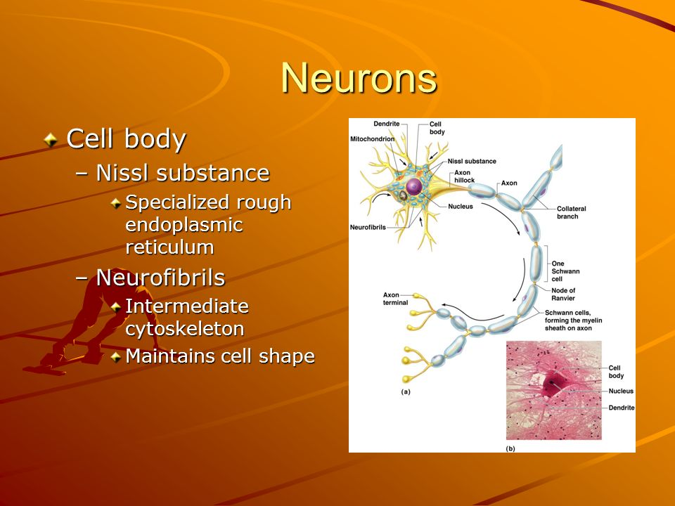 Neurons Cell body –Nissl substance Specialized rough endoplasmic reticulum –Neurofibrils Intermediate cytoskeleton Maintains cell shape