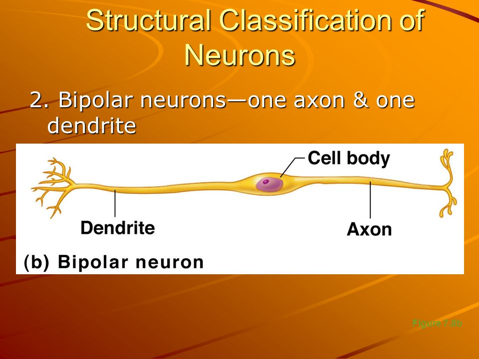 Structural Classification of Neurons 2. Bipolar neurons—one axon & one dendrite Figure 7.8b