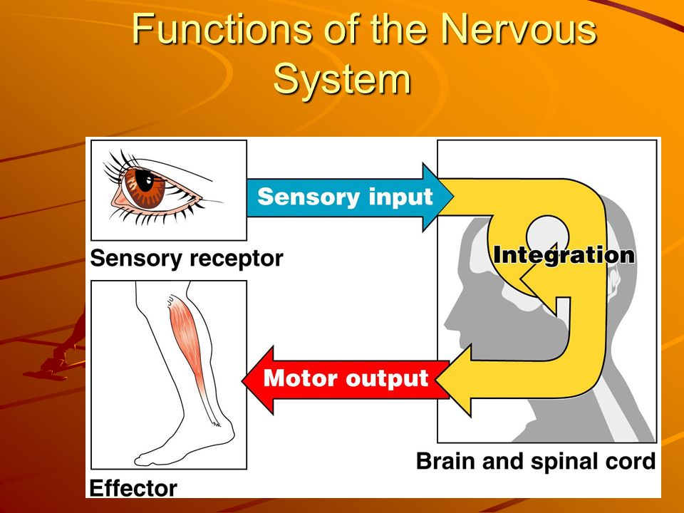 Functions of the Nervous System Figure 7.1