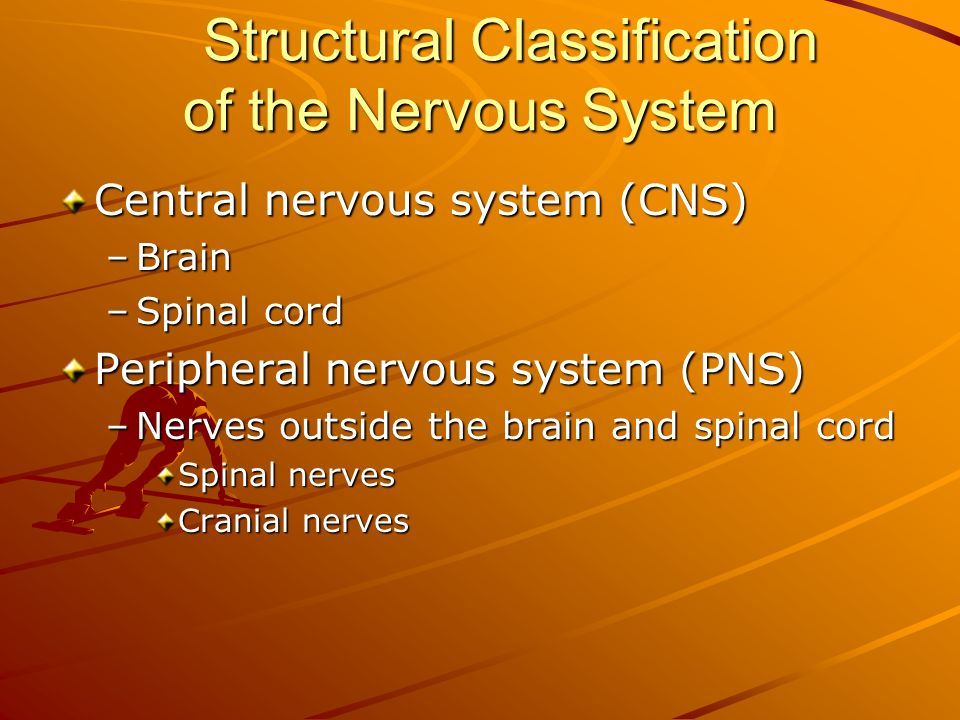 Structural Classification of the Nervous System Central nervous system (CNS) –Brain –Spinal cord Peripheral nervous system (PNS) –Nerves outside the brain and spinal cord Spinal nerves Cranial nerves
