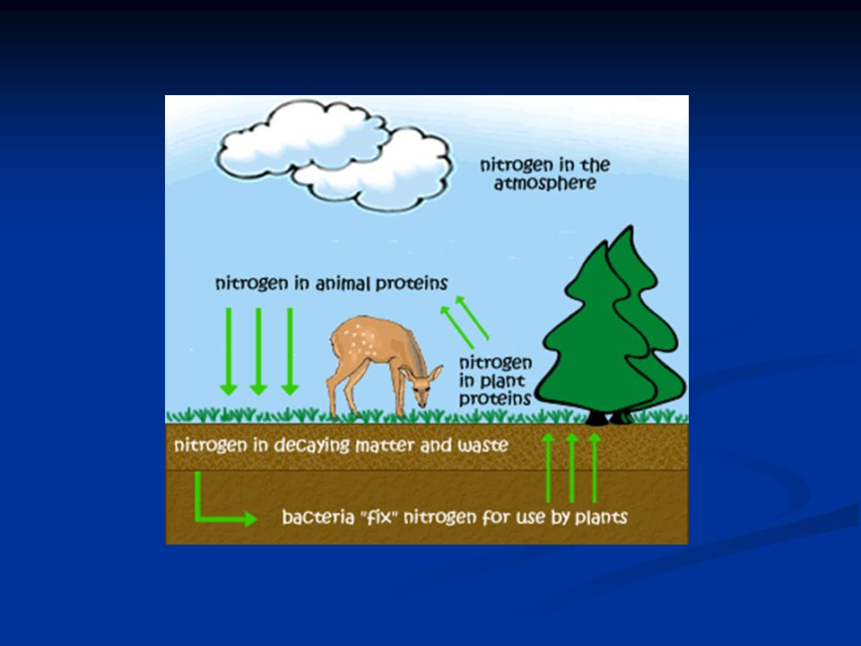The Nitrogen Cycle The nitrogen cycle produces the fixed form of nitrogen these organisms need.