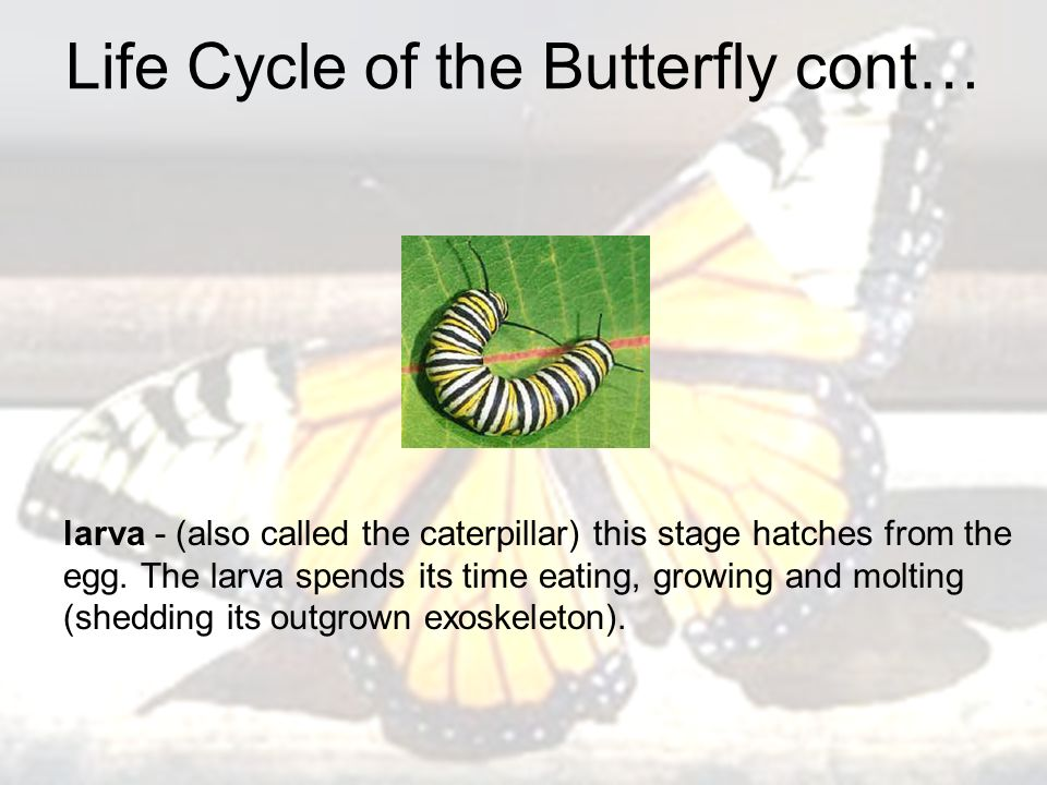 Life Cycle of the Butterfly cont… larva - (also called the caterpillar) this stage hatches from the egg.