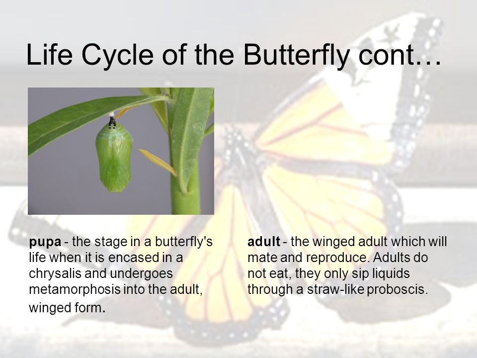 Life Cycle of the Butterfly cont… pupa - the stage in a butterfly s life when it is encased in a chrysalis and undergoes metamorphosis into the adult, winged form.