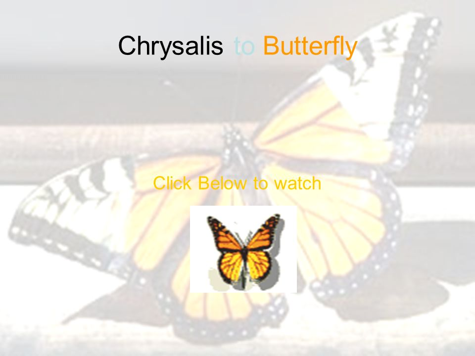 Chrysalis to Butterfly Click Below to watch