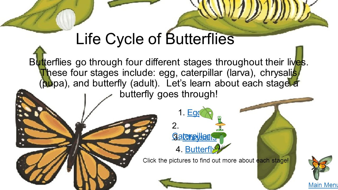 Worksheet What Is The Life Cycle Of A Caterpillar all about butterflies katie santorelli 1 st grade science click life cycle of go through four different stages throughout their lives