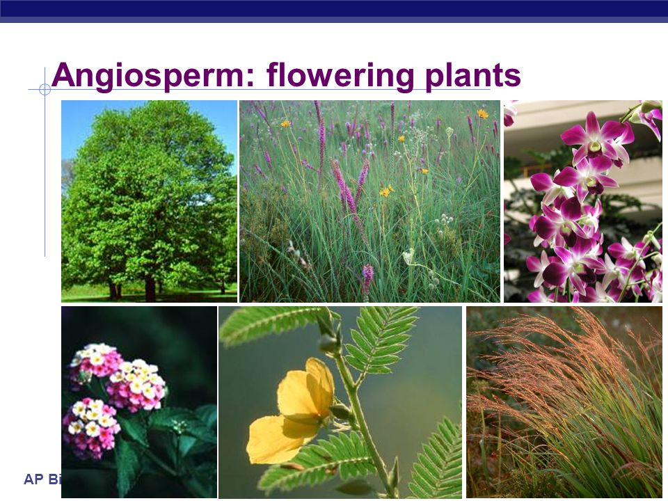 flower and angiosperms Information on the fossil record of angiosperms has expanded dramatically over the past twenty-five years, and in particular the discovery of numerous mesofossil floras with fossil flowers has added a completely new element into the study of angiosperm history.