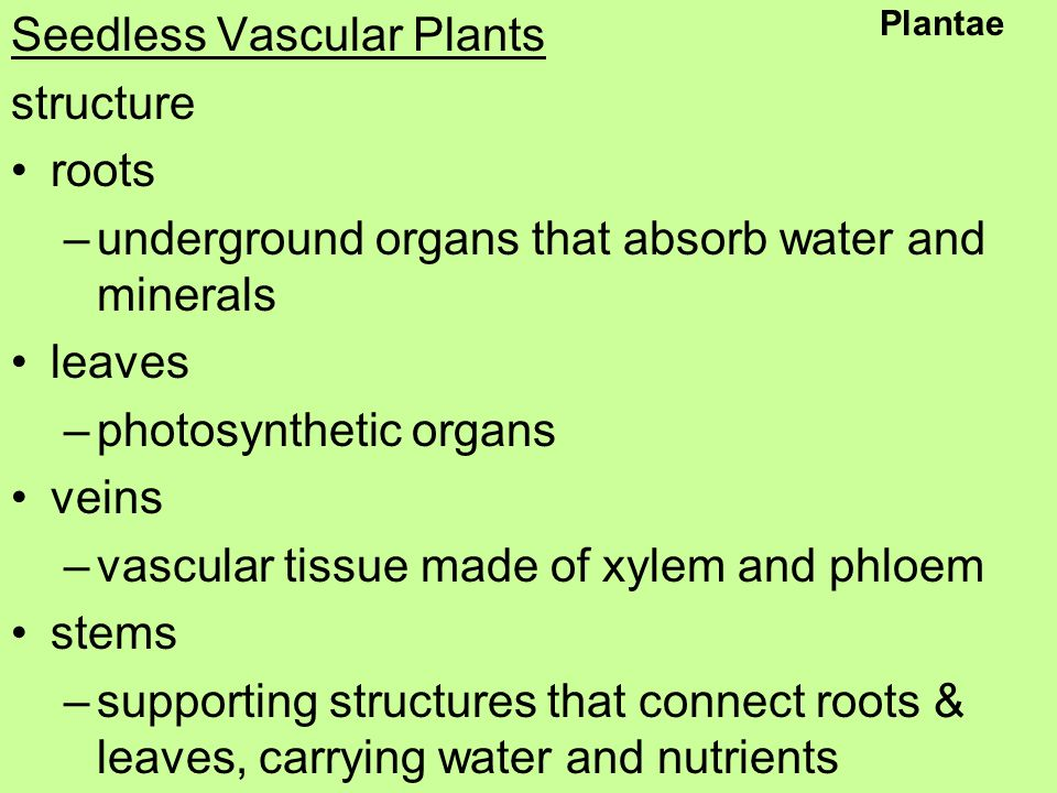 Seedless Vascular Plants structure roots –underground organs that absorb water and minerals leaves –photosynthetic organs veins –vascular tissue made of xylem and phloem stems –supporting structures that connect roots & leaves, carrying water and nutrients Plantae
