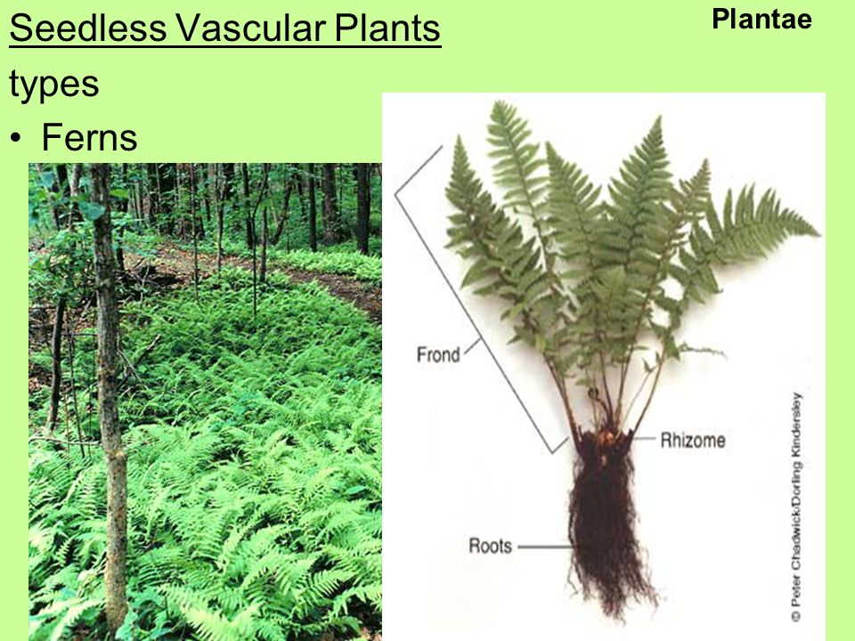 Seedless Vascular Plants types Ferns Plantae