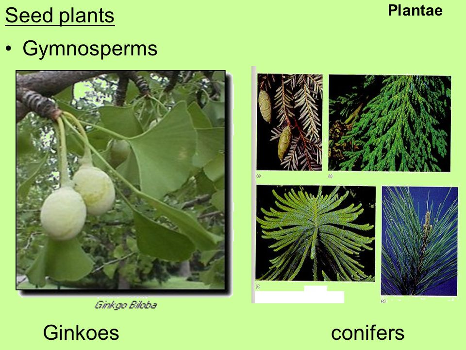 Seed plants Gymnosperms Ginkoes conifers Plantae