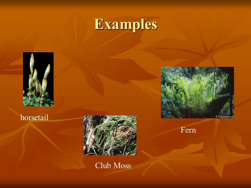Examples Fern horsetail Club Moss