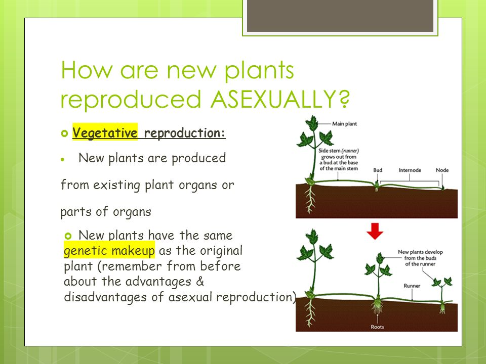 How are new plants reproduced ASEXUALLY.