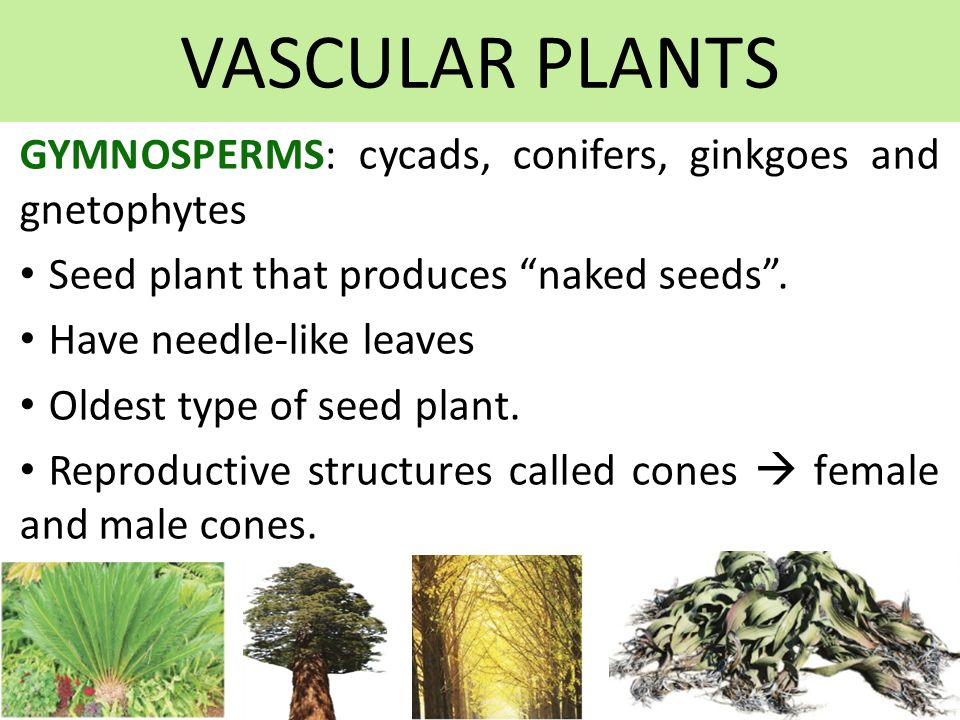 VASCULAR PLANTS GYMNOSPERMS: cycads, conifers, ginkgoes and gnetophytes Seed plant that produces naked seeds .