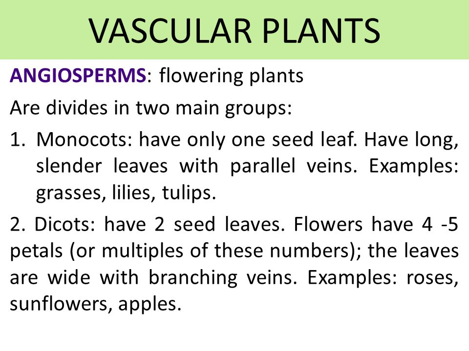 VASCULAR PLANTS ANGIOSPERMS: flowering plants Are divides in two main groups: 1.Monocots: have only one seed leaf.