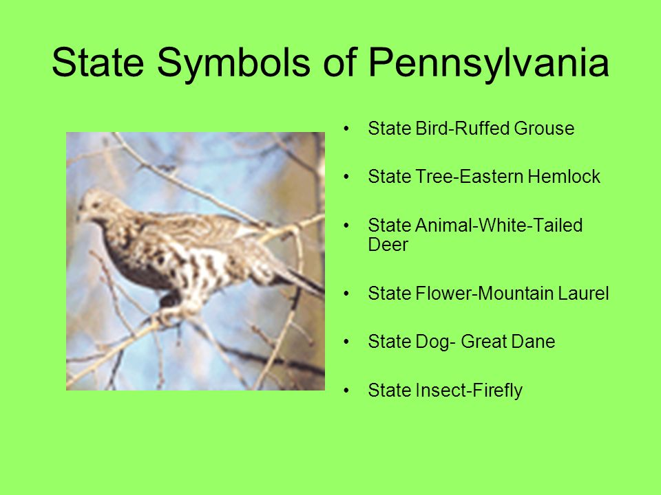 5 state symbols of pennsylvania state bird ruffed grouse state tree eastern hemlock state animal white tailed deer state flower mountain laurel state dog