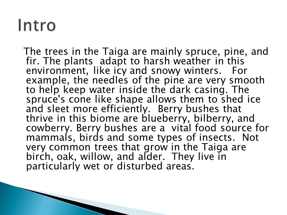 The trees in the Taiga are mainly spruce, pine, and fir.