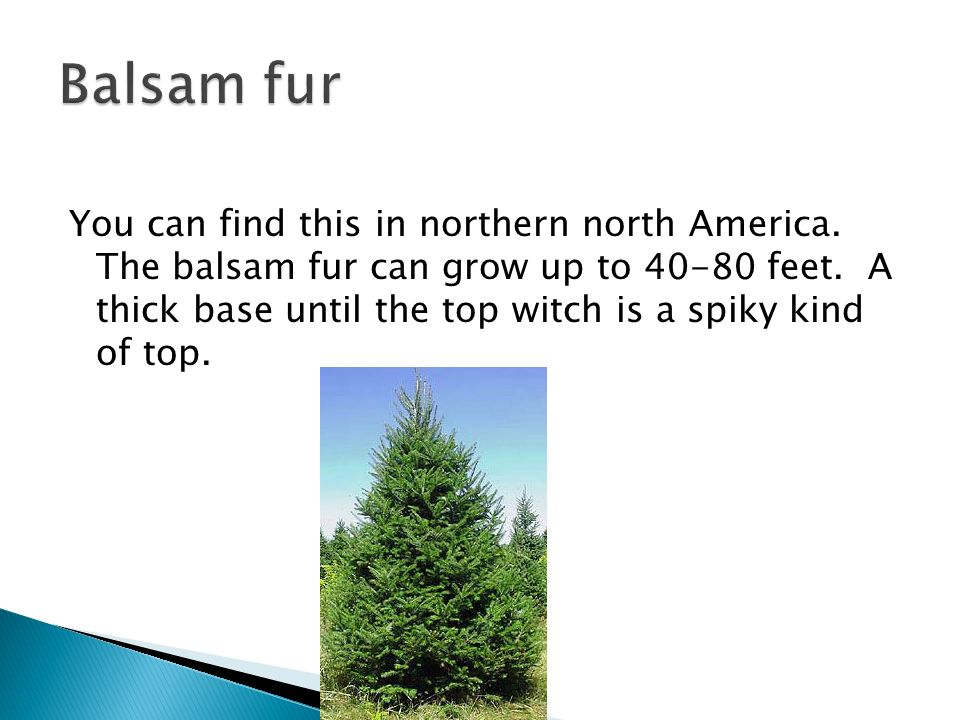 You can find this in northern north America. The balsam fur can grow up to feet.