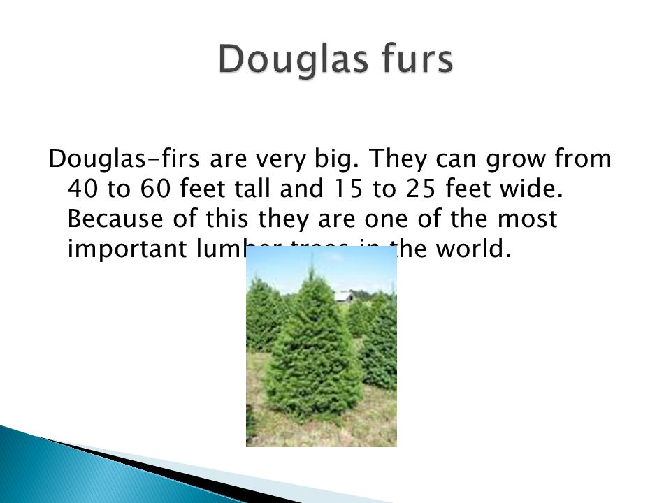 Douglas-firs are very big. They can grow from 40 to 60 feet tall and 15 to 25 feet wide.