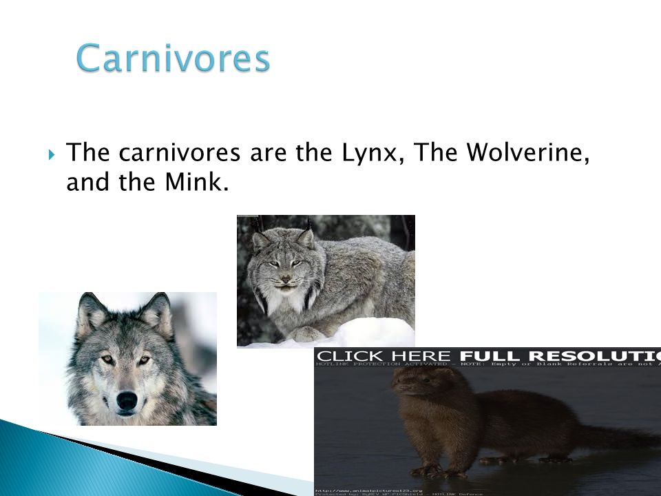  The carnivores are the Lynx, The Wolverine, and the Mink.