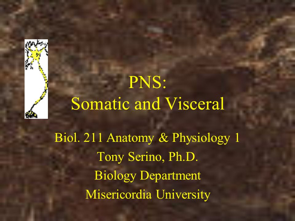 PNS: Somatic and Visceral Biol. 211 Anatomy & Physiology 1 Tony ...